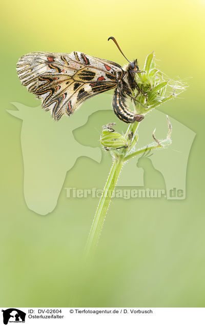 Osterluzeifalter / festoon butterfly / DV-02604