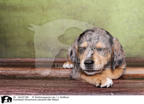 Jh 20158 Australian Shepherd Labrador Mix Welpe Bilder