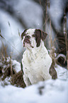 Alapaha Blue Blood Bulldog im Winter