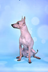 sitzender American Hairless Terrier