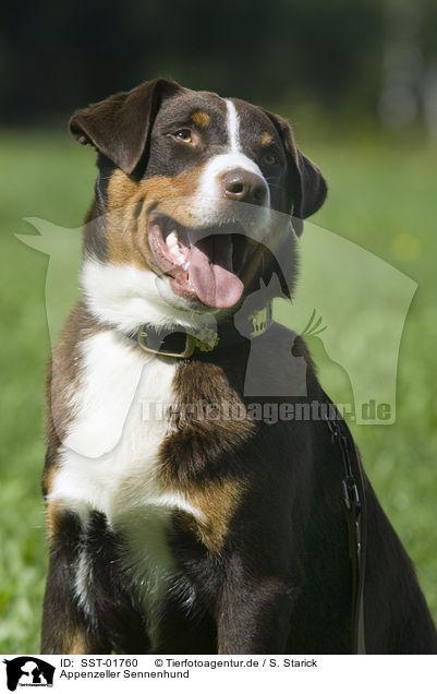 Sst 01760 Appenzeller Sennenhund Bilder Stockbilder Kaufen