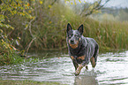 rennender Australian Cattle Dog