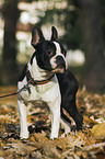 sitzender Boston Terrier