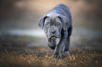laufender Cane Corso Welpe