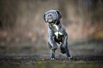 rennender Cane Corso Welpe
