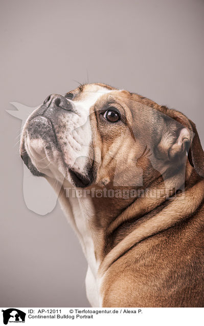 Continental Bulldog Portrait / AP-12011