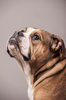 Continental Bulldog Portrait