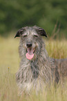 liegender Deerhound