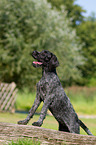 junger Deutsch Drahthaar / young German wirehaired Pointer