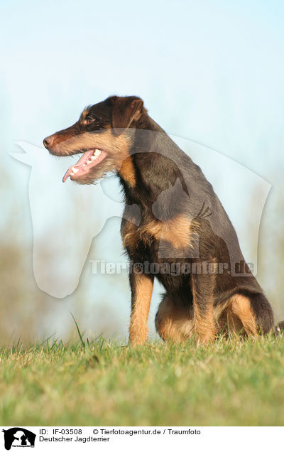 Deutscher Jagdterrier / IF-03508
