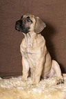 Dogo Canario Welpe