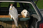 Gerfalke und English Setter