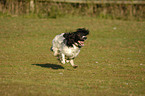 rennender English Springer Spaniel