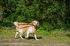 spielender Golden Retriever / playing Golden Retriever