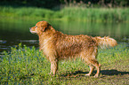 Golden Retriever / Golden Retriever