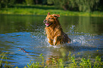 rennender Golden Retriever / running Golden Retriever