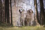 Golden Retriever und Labrador Retriever