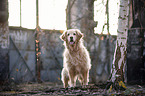 stehender Golden Retriever