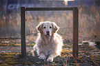 liegender Golden Retriever
