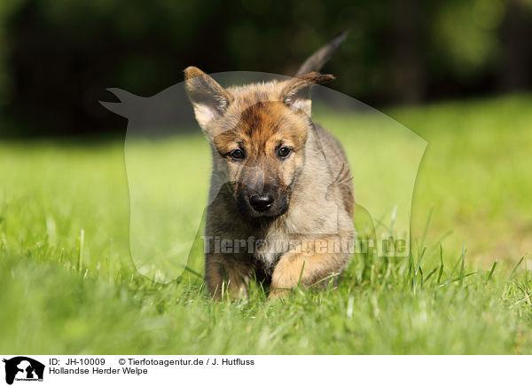 Jh 10009 Hollandse Herder Welpe Bilder Stockbilder Kaufen Professionell Tierfotoagentur Bildagentur Mit Spezialisierung Auf Tierbilder Und Tierfotos