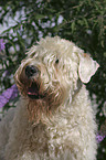Irish Soft Coated Wheaten Terrier Portrait