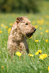 sitzender Irish Terrier