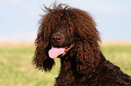 Irish Water Spaniel Hündin