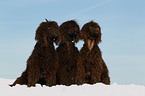 3 Irish Water Spaniels / 3 Irish Water Spaniels