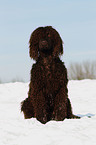 Irish Water Spaniel im Schnee / Irish Water Spaniel in snow