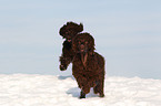 2 rennende Irish Water Spaniels / 2 running Irish Water Spaniels