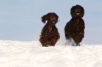 2 rennende Irish Water Spaniels