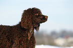 Irish Water Spaniel Portrait / Irish Water Spaniel Portrait