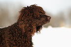 Irish Water Spaniel Portrait