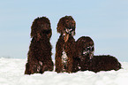 3 Irish Water Spaniels