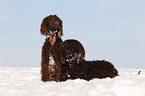 2 Irish Water Spaniels