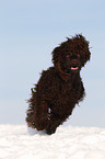 Irish Water Spaniel rennt durch den Schnee / Irish Water Spaniel running through snow