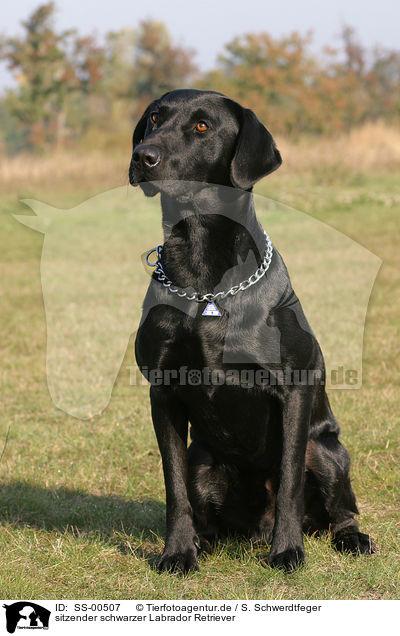 SS-00507 - sitzender schwarzer Labrador Retriever Bilder Stockbilder ... acb1ae1e55d96