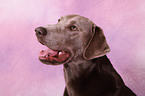 silver Labrador Retriever Portrait