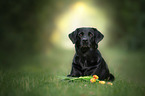 liegender Labrador Retriever