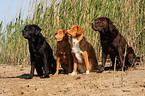 Labrador Retriever und Nova Scotia Duck Tolling Retriever