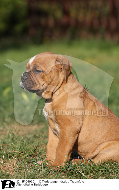 Altenglische Bulldogge / Olde English Bulldog / IF-04939