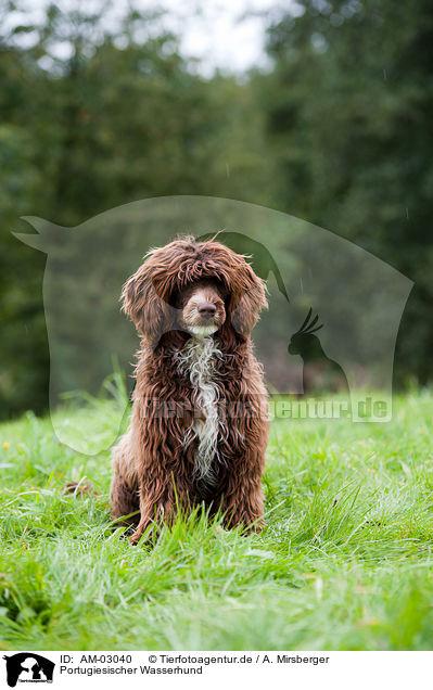Am 03040 Portugiesischer Wasserhund Bilder Stockbilder Kaufen Professionell Tierfotoagentur Bildagentur Mit Spezialisierung Auf Tierbilder Und Tierfotos