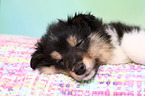 Sheltie Welpe / Sheltie Puppy