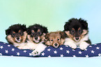 Sheltie Welpen / Sheltie Puppies