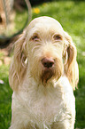 Spinone Italiano Portrait