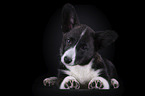 liegender Welsh Corgi Cardigan
