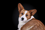 Welsh Corgi Cardigan Portrait