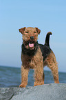 stehender Welsh Terrier