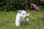 West Highland White Terrier Welpe