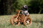 Havaneser Welpe / havanese puppy